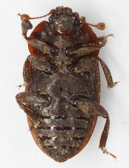 mystery nit - Phenolia grossa