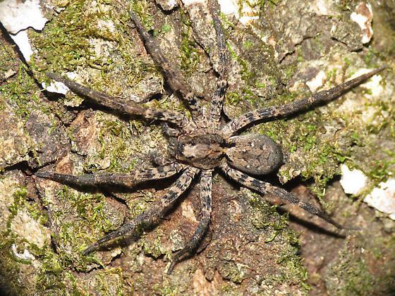 G. pulchra - Gladicosa pulchra - female