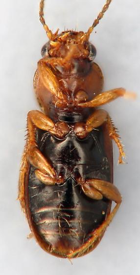 small carabid 6 - Acupalpus pauperculus