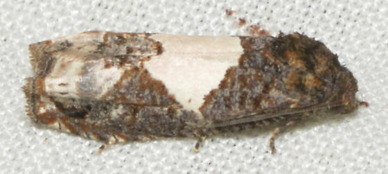 unknown moth - Epiblema dorsisuffusana