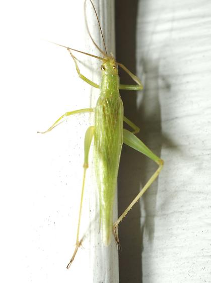 Unknown Tree Cricket - Oecanthus celerinictus