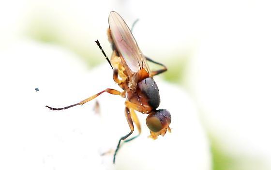 red fly with raised legs - Saltella sphondylii