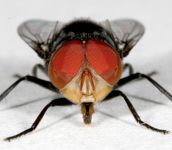 BG1379 C3523 - Chrysomya megacephala - male