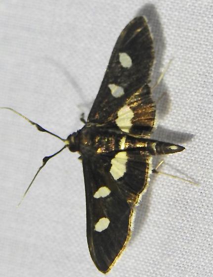 Desmia species - Desmia maculalis - male