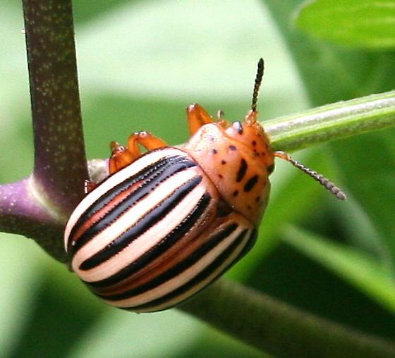 статье рассматривается ложный картофельный жук фото топиарий
