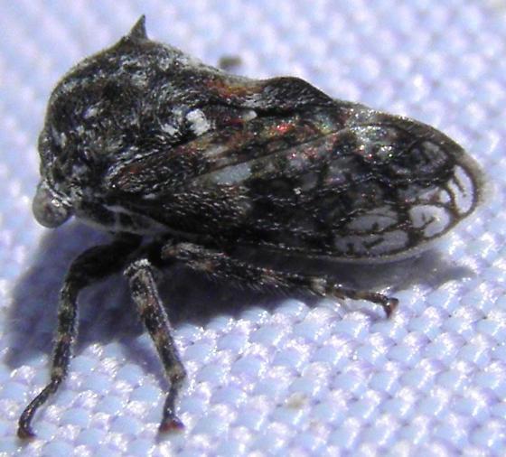 Hopper - Tylocentrus reticulatus