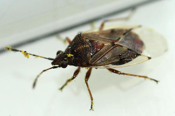 Birch Catkin Bug - Kleidocerys resedae
