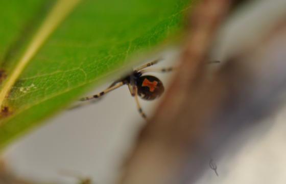 Immature Latrodectus sp? - Latrodectus mactans