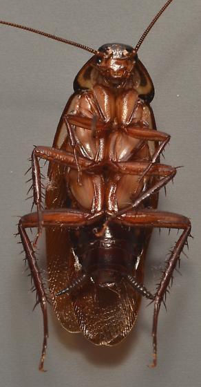 American or Australian cockroach? - Periplaneta australasiae