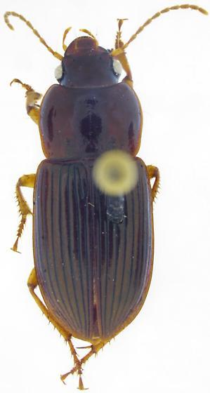 Anisodactylus harpaloides - female