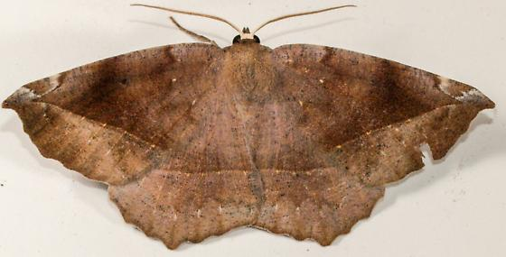 Curve-toothed Geometer Hodges#6966 - Eutrapela clemataria