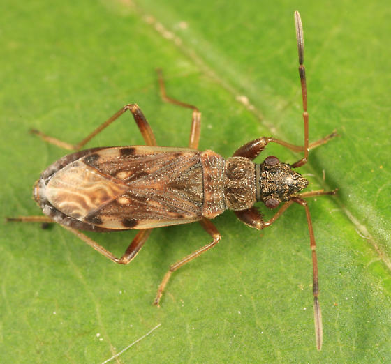 Ligyrocoris diffusus? - Ligyrocoris diffusus