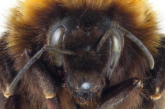 Bombus hyperboreus Q - Bombus hyperboreus - female