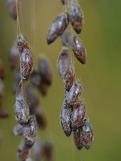 bug eggs on fibers? - Meteorus