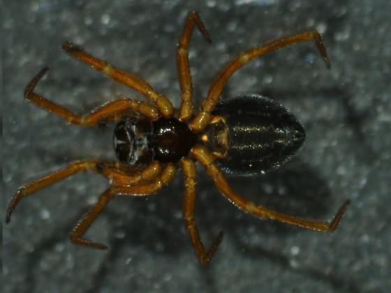 In the house - Spirembolus mundus - female