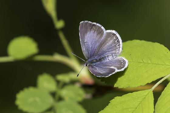echo azure - Celastrina echo - female