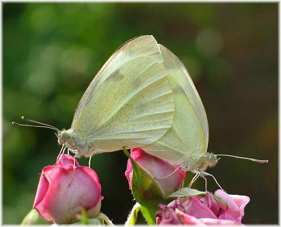 Cabbage White Butterflies Mating - Pieris rapae - male - female