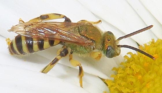 Texas Striped-Sweat Bee - Agapostemon texanus - male