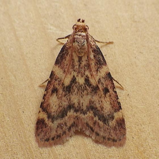 Pyralidae: Aglossa disciferalis - Aglossa disciferalis