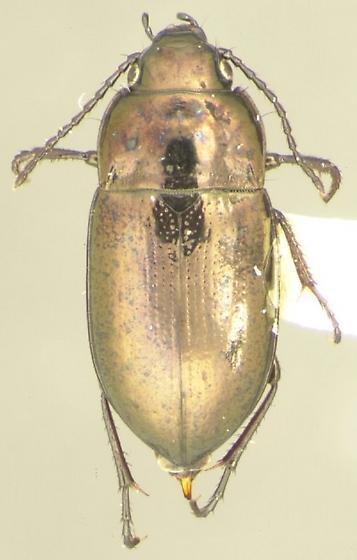 Trachypachus gibbsii LeConte - Trachypachus gibbsii