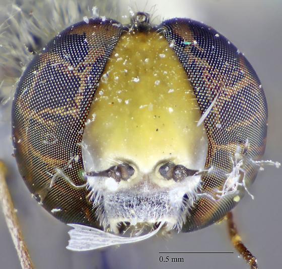 Diptera: Bombyliidae - Desmatoneura argentifrons
