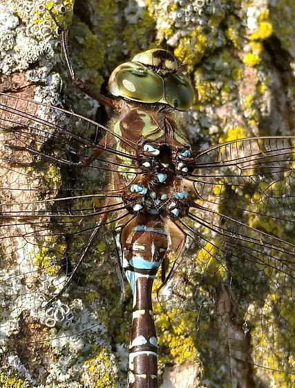 Green-striped Darner - Aeshna verticalis