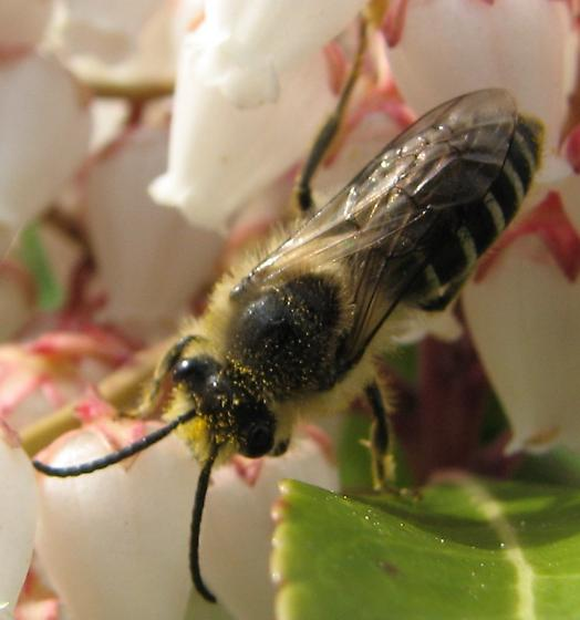 Cellophane Bee (Colletes inaequalis) - Colletes inaequalis