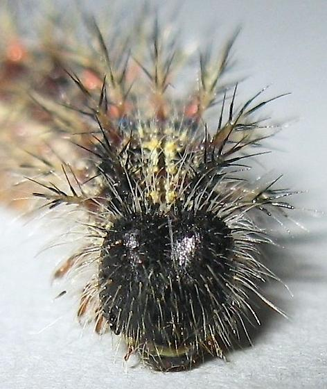 Painted Lady Caterpillar - Vanessa cardui