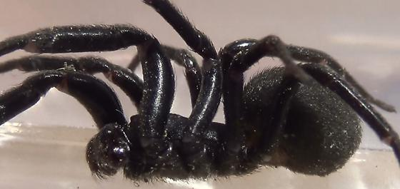 Not a Trapdoor Spider (lateral) - Plectreurys - male