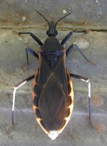 Bug A 5.26.17 - Triatoma rubida - female