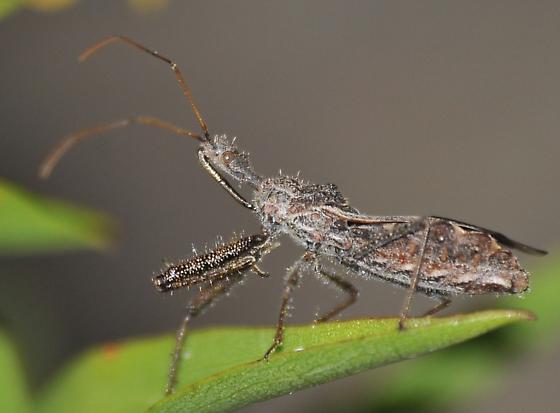Assassin Bug - Sinea diadema