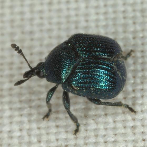 Pterocolus ovatus (Fabricius) - Pterocolus ovatus