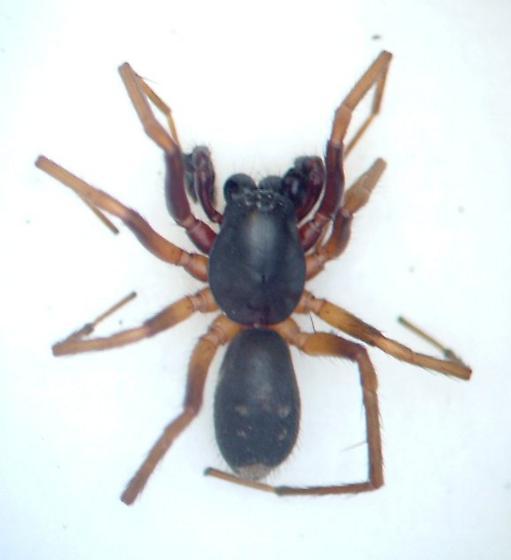 Fl spider 04 - Falconina gracilis - male
