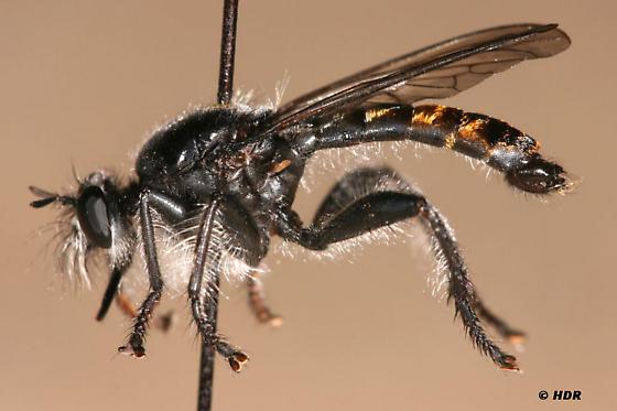 Laphria ithypyga - male