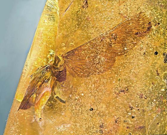 Moth-like insect in amber