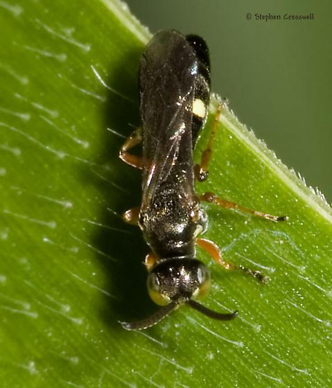 Very small wasp on corn - Alysson triangulifer - male
