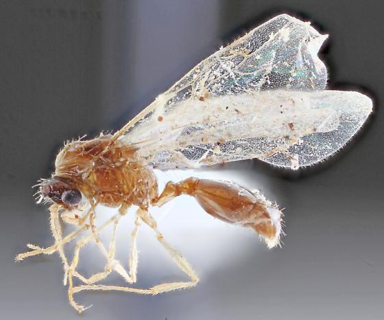 Formicidae-3 - Temnothorax