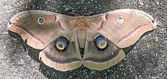 Polyphemus Moth H# 7757 - Antheraea polyphemus