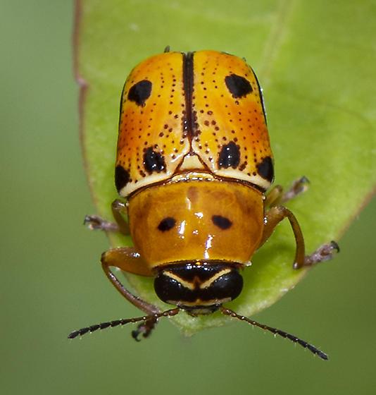Griburius larvatus