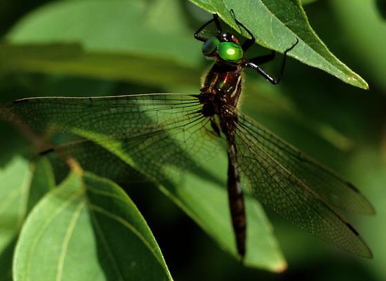 Hine's Emerald - Somatochlora hineana - male