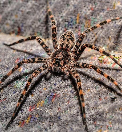 Female Fishing Spider Dolomedes Tenebrosus Bugguide Net