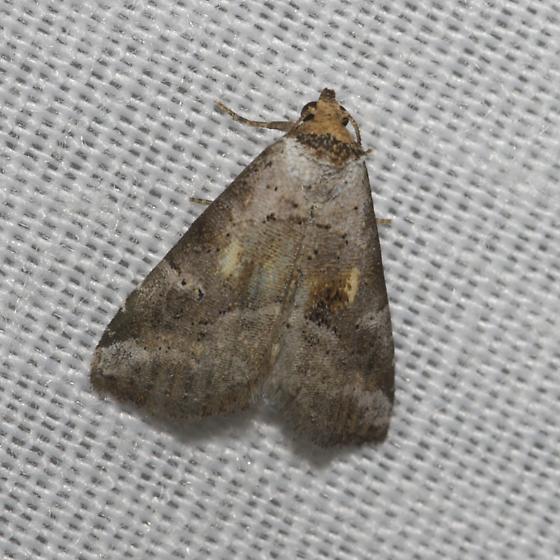 Unknown moth - Hyperstrotia flaviguttata