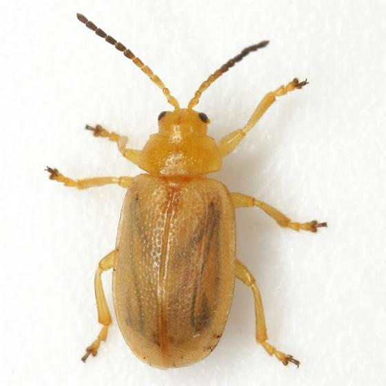 Ophraella cribrata (LeConte) - Ophraella cribrata