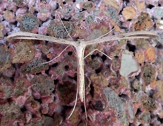 Pterophoridae: Emmelina monodactyla? - Emmelina monodactyla