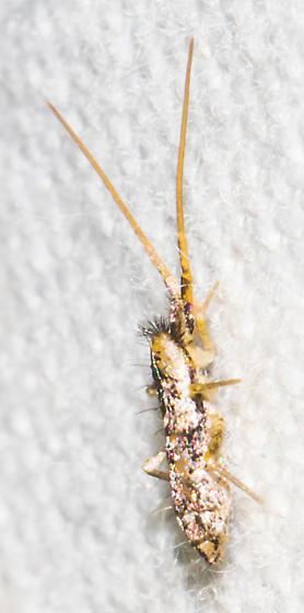2018-08-23 Springtail - Pogonognathellus elongatus