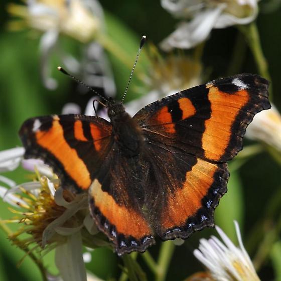 Mountain butterfly - Aglais milberti