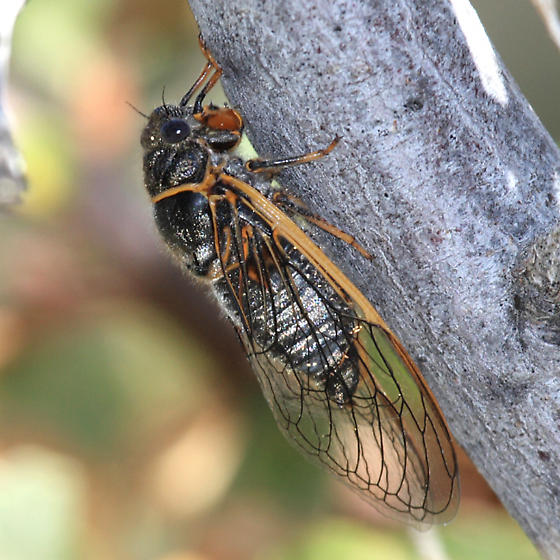 Cicada - Okanagana mariposa