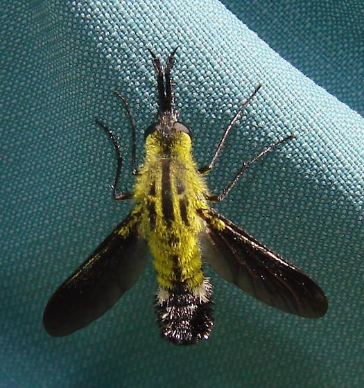 Very Cool Fly - Lepidophora lutea