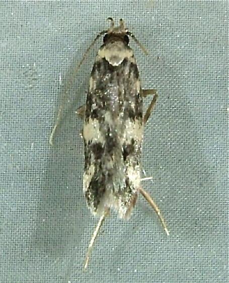 Oegoconia quadripuncta or O. novimundi - Oegoconia novimundi