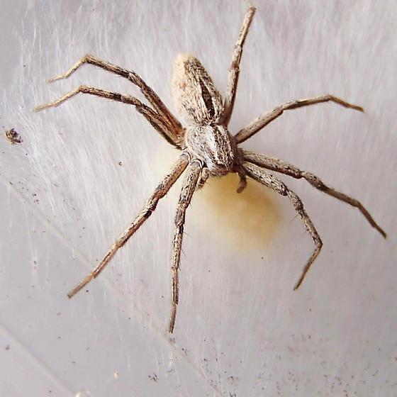 Running Crab spider. - Thanatus formicinus - female